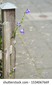 A violet flower peeps behind a wooden fencing post.