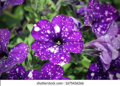 """Violet flower with white dots close-up. Ampelic petunia """"Night Sky"""" close-up."""