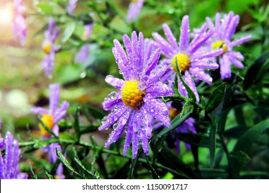 Violet flowers of Alpine Aster (Aster alpinus) in morning with waterdrops & soft sunlight. Sun rays on ultra-violet aster flowers on garden background. Decorative plant after rain & water drops macro