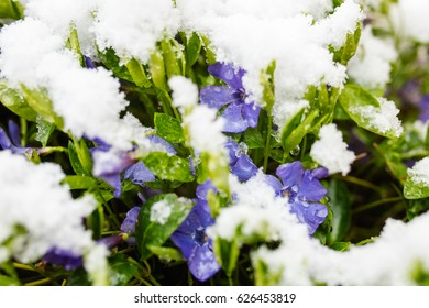 Violet flowers blossom in spring covered by snow.
