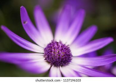 violet flowers, Bornholm Marguerite