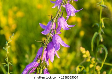 violet flowers and buds of wild campanula on the meadow. campanula rapunculoides, creeping bellflower, or rampion bellflower. beautiful nature background