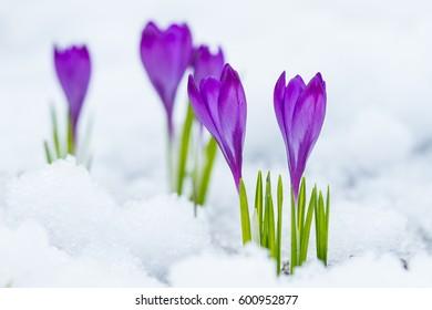 Violet flowers crocuses growing on the snow