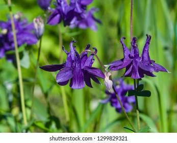 Violet flowers of European or Common columbine, Aquilegia vulgaris, close-up, selective focus, shallow DOF