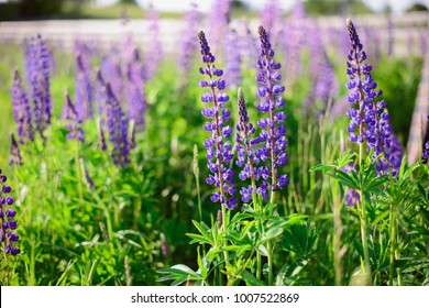 Violet flowers in the green field