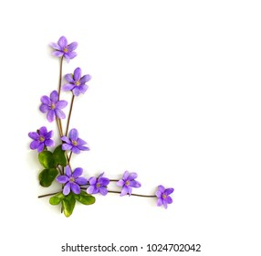 Violet flowers hepatica (liverleaf or liverwort) on a white background with space for text. Top view, flat lay.