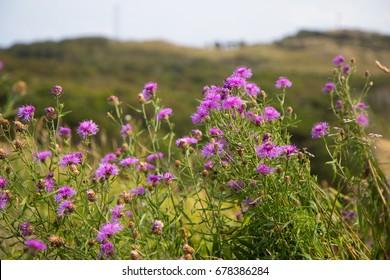Violet flowers at Kullaberg - Wild rocky coast on western Sweden