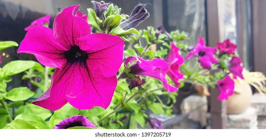 Violet flowers of Mirabilis jalapa (marvel of peru) grow in a pot by the restaurant window. Decoration of the restaurant window with flowers.