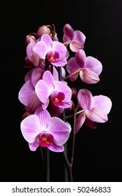 Violet flowers of phalaenopsis on black