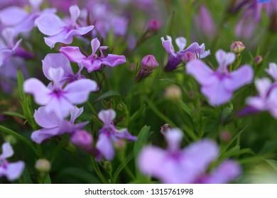 Violet flowers Trailing Garden Lobelia Sapphire flowers or Edging Lobelia,purple Trailing Lobelia Sapphire flowers