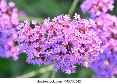 Violet flowers of VERBENA BONARIENSIS.