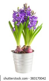 violet fresh hyacinth blooming flowers in pot isolated on white background