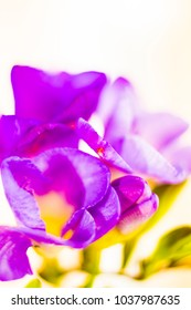 Violet fressia on white background ,spring fresh flowers ,macro