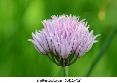 Violet garlic flower in bloom