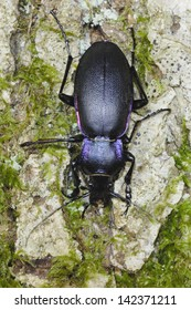 Violet Ground Beetle (Carabus violaceus) in ancient woodland, Wales,UK