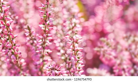 Violet Heather flowers field Calluna vulgaris. Small pink lilac petal plants, soft background. shallow depth of field.