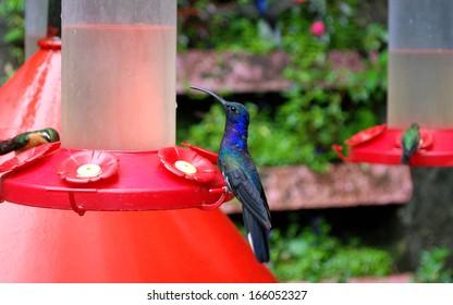 Violet hummingbird, Monte Verde National Park, Costa Rica