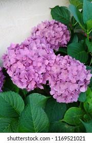 Violet hydrangea, hortensia