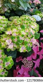 Violet hydrangea, hortensia plant, Hydrangea macrophylla