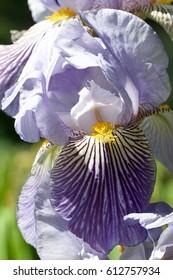Violet iris flower in garden