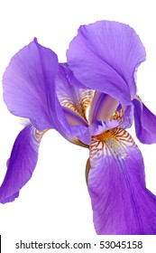 Violet iris isolated on a white background