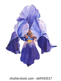 violet iris.Watercolor flower on white background.plant in close-up.Illustration.Can be used as greeting cards, wedding invitations, birthday,spring or summer holiday,celebration.