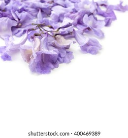 violet jacarandas flower isolated on white