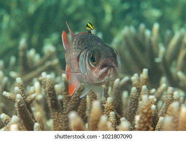 Violet  or lattice soldierfish ( Myripristis violacea ) swimming over coral reef of Bali, Indonesia