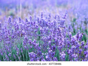Violet lavender as aromatic herbs background. Lavender flowers blossom on the field in summertime. Nature background with lavender in the garden, soft light effect.