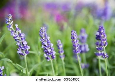 Violet lavender. Lavender bushes closeup. Bushes on the center of picture. Provence region of france.