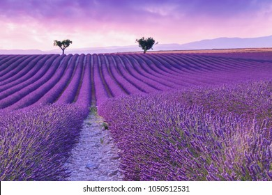 Violet  lavender bushes.Beautiful colors purple lavender fields near Valensole, Provence in France, Europe