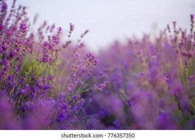 violet lavender field