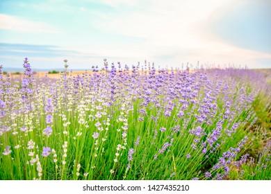 Violet Lavender field in Bulgaria, Europe  . Walpaper
