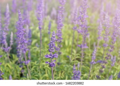 Violet lavender field in the forest