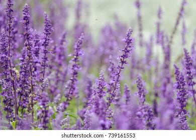 Violet lavender field in Japan
