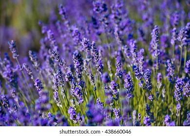 Violet lavender field in Provence
