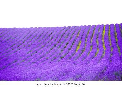 violet lavender fields garden on white background ,furano,Hokkaido, Japan