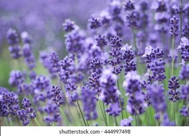 Violet lavender fields in sapporo,closeup focus-2