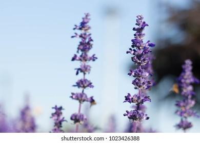violet  lavender flower
