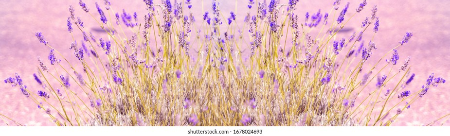 Violet Lavender flowers banner field in Provence in pastel colors, blur. French lavender in the garden, soft light. Blooming Lavender for Nature Cosmetics, perfume ingredient, aromatherapy. copy space