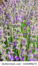 Violet lavender flowers close up. Lavender field in the village. Lavender flowers on the farm. Selective focus image. Pastoral landscape. Lavender fields in suburb of Istanbul.