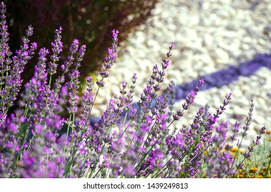 Violet lavender flowers close up. Lavender field in the village. Lavender flowers on the farm. Selective focus image.