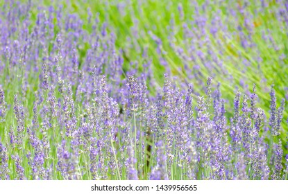 Violet lavender flowers close up. Lavender field in the village. Lavender flowers on the farm. Selective focus