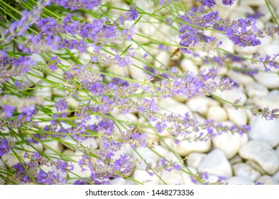 Violet lavender flowers close up. Lavender field in village. Lavender flowers on the farm. Lavender fields in suburb of Istanbul. selective focus image.