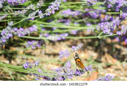 Violet lavender flowers close up. Lavender field in the village. Lavender flowers on the farm. Bright butterfly on a flower. Selective focus image.