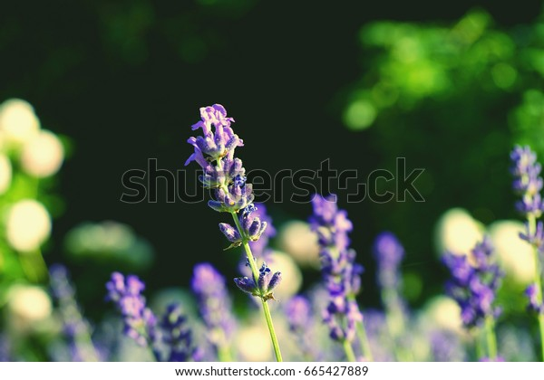 Violet lavender flowers field with blurred green leaves in the backdrop. Sunny summer warm day in botanic park. Fashion toned vintage image, soft colors.