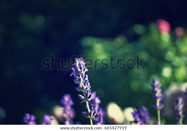 Violet lavender flowers field with blurred green leaves in the background. Sunny summer hot day in national garden. Fashion toned vintage image, washy colors.