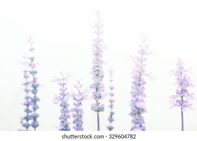 violet lavender in the mist  on the shallow dept of field for background