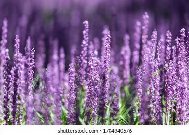 Violet liriope flowers in garden