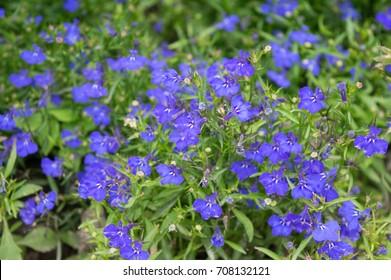 Violet lobelia flowers blooming in summer flowerbed, beautiful ornamental edging garden plant with rich bloom